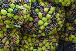 olive-v-canola