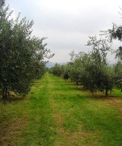farming-on-the-edge-of-an-olives-comfort-zone