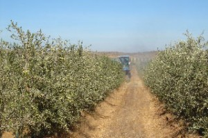 olisurs-alfonso-swett-chile-will-be-a-major-olive-oil-player