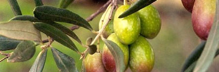 heavy-rains-and-high-hopes-for-australian-olive-oil-this-season