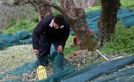study-of-greek-olive-oil-sector-urges-producers-to-standardize-olive-harvest-on-crete