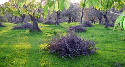 olive-tree-biomass-a-promising-fossil-fuel-alternative