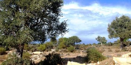 cyprus-celebrates-the-olive-tree