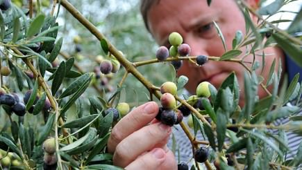 origins-of-georgias-newborn-olive-oil-industry