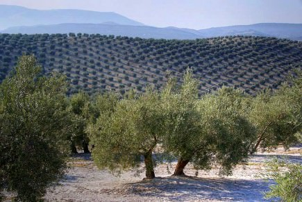 spain-denies-it-produces-too-much-olive-oil