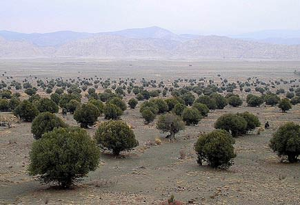 pakistan-to-plant-4-million-olive-trees