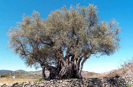manzanilla-cacerena