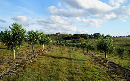 uruguay-joins-international-olive-council-olive-farm-uruguay