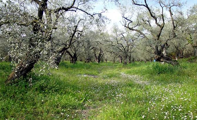 greek-olive-oil-production-down-fifty-percent--greek-olive-oil-production-down-fifty-percent-