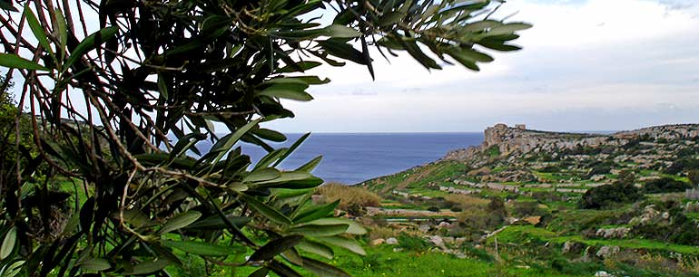 an-olive-grove-in-malta