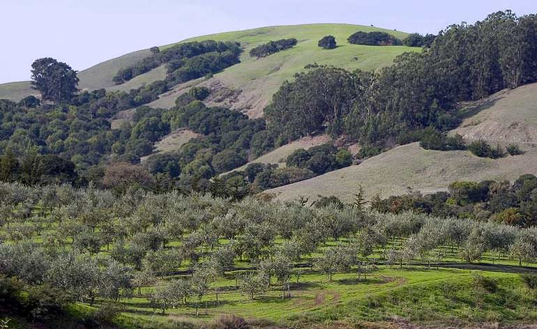 the-toll-of-climate-change-on-california-olive-oil