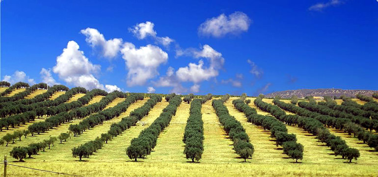 spain-enjoys-robust-olive-oil-sales-but-not-prices