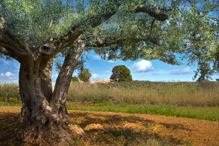 olive-oil-course-spans-the-journey-from-tree-to-table