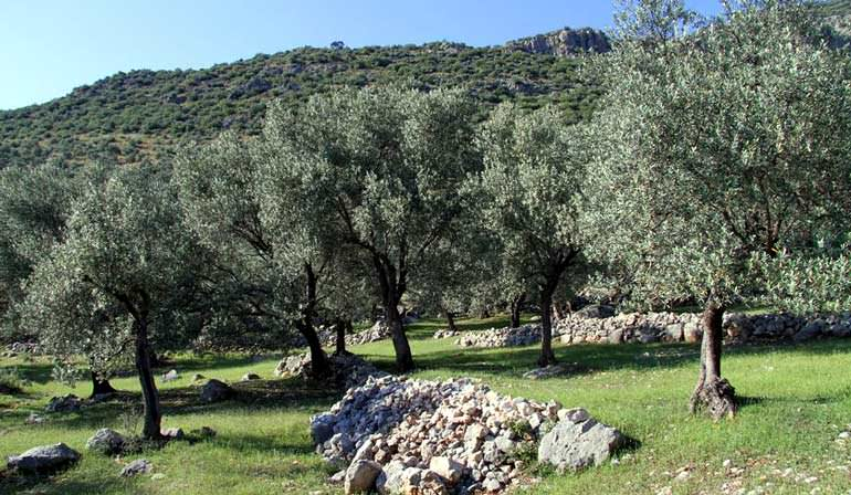 turkish-growers-criticize-bill-to-allow-energy-plants-on-olive-groves