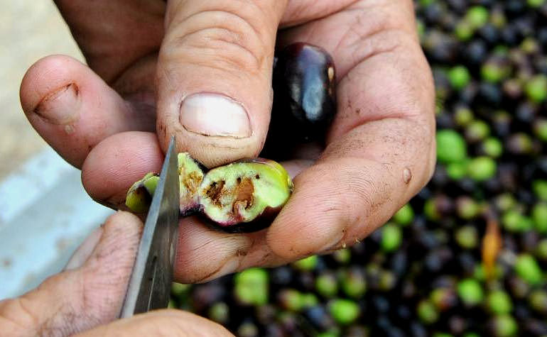 croatian-olive-growers-face-a-disappointing-harvest