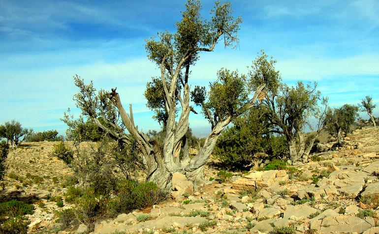 olive-oil-of-oman
