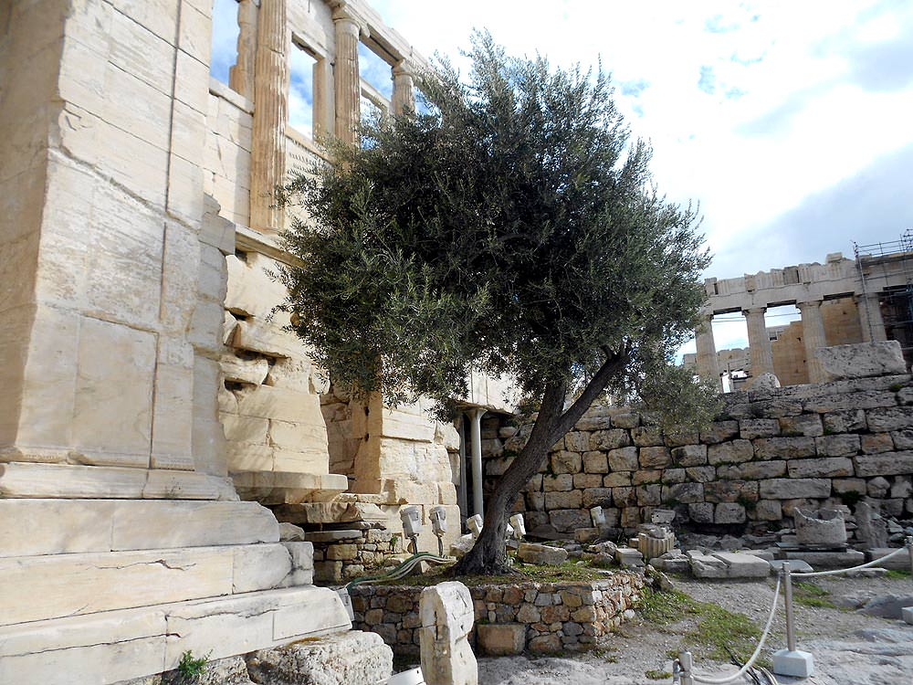 sacred-olives-athenas-tree-on-the-acropolis