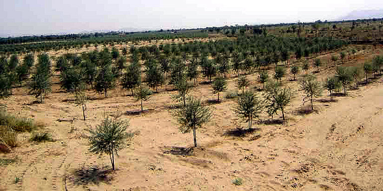 india-set-to-market-its-own-olive-oil