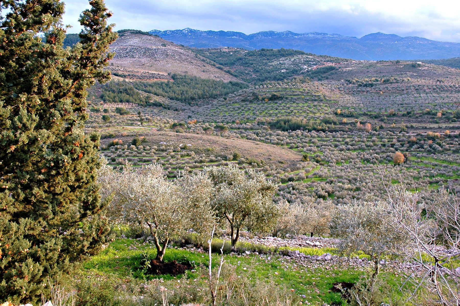 lebanese-olive-oil-exploring-intricacies-of-a-sector-with-potential